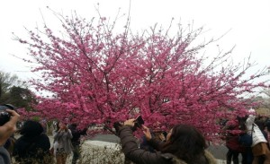 Locals and tourist taking photos of Sakura trees