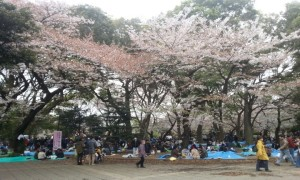 People gathering under the Sakura trees for picnics.
